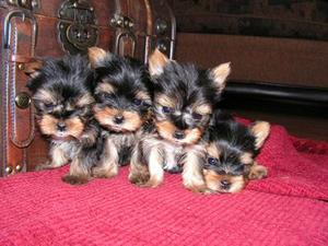 Albertson Nc Teacup Yorkie Puppies For Free Adoption